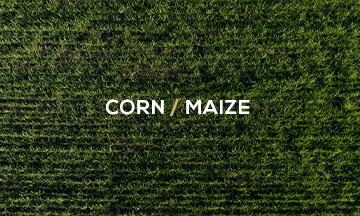 Corn/maize_weekly_opinion_graintab_crm